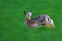 European hare Lepus europaeus, fleeing, Germany, Rhineland_Palatinate