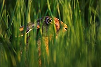 European hare Lepus europaeus, hides in grass in evening light, Germany, Rhineland_Palatinate