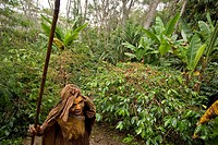 Woman in front of coffee bushes, Coffee plantation, Langila, Highlands, Papua New Guinea, Oceania