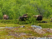 muskox Ovibos moschatus, herd with calves at deciduous forest, Norway, Dovrefjell National Park
