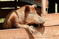 Pig sus scrofa domesticus looking out of its barn, Paraguay, South America