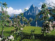 The steeple of Saint Valentine´s church behind branches with apple blossom, Siusi, South Tyrol, Italy, Europe