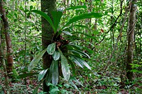 Bromeliads (Bromeliaceae) growing in the rainforest, Guyana, South America