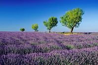 Almond trees in lavender field nder blue sky, Plateau de Valensole, Alpes de Haute Provence, Provence, France, Europe