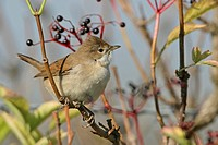 whitethroat Sylvia communis, sitting on a twig, Germany