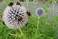 great globethistle, great globe_thistle, giant globe thistle Echinops sphaerocephalus, flower heads with bumble bees