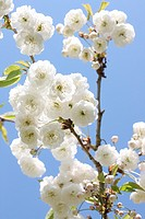 Beautiful Double Gean Blossom Characteristic White Drooping Floral Clusters