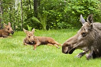 Two newborn moose calves rest with their mother in a residential backyard, Eagle River, Southcentral Alaska, Summer