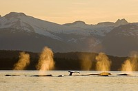 Pod of humpbacks feeds along the shoreline of Admiralty Island in Alaska´s Inside Passage at sunset