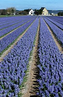 Cultivated hyacinths Hyacinthus sp. at florist´sbusiness, Holland, Netherlands