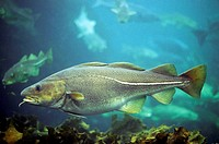 Atlantic cod Gadus morhua, Scandinavia, Norway