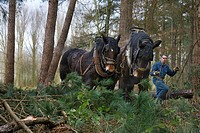Foresters dragging tree_trunks from forest with draught horses Equus caballus, Belgium