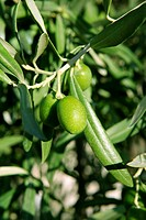 Green olive tree with macro closeup fruits in Mediterranean Spain