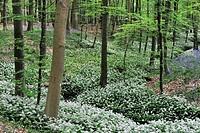 Wild garlic / Ramsons Allium ursinum and Bluebells Scilla non_scripta / Endymion nonscriptus / Hyacinthoides non_scripta along brook in spring woodlan...