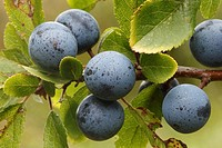 Früchte des Schledorns, Prunus spinosa, Schleswig-Holstein, Deutschland , Fruits of Black Thorn or Sloe, Prunus spinosa, Schleswig-Holstein, Germany