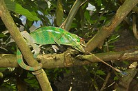 Panther Chameleon Furcifer pardalis catching an insect, Madagascar