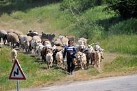 domestic goat Capra hircus, Capra aegagrus f. hircus, shepherd with herd of goats, Bulgaria, Bulgaria