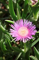 Magenta Pink Hottentot Fig flower. Blooming period: April to October. The flowers are either magenta or yellow with a yellow centre. This plant prefer...