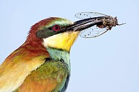 Bee_eater family Meropidae with an insect in its beak. Most of the birds in this family are found in Africa, southern Europe, Australia and New Guinea...