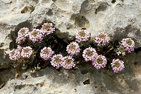 Burnt candytuft Aethionema saxatile in flower in the White Mountains, Crete.