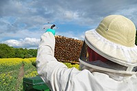 honey bee, hive bee Apis mellifera mellifera, beekeeper controlling honeycombs in front of blooming rape field