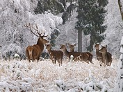 red deer Cervus elaphus, pack in snow, Germany, Saxony