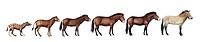 Evolution of Przewalski´s horse. Artwork showing the ancestral equid Hyracotherium sp. left evolving into Przewalski´s horse Equus ferus przewalskii. ...