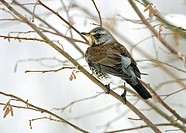 A Fieldfare Turdus pilarus perching in Hazel Corylus branches in the Winter. Photographed in Kent, UK.