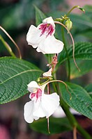 Flowers of Impatiens tinctoria in the Summer.