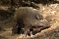 Wild Boar (Sus scrofa) wallowing in mud, Daun Zoo, Vulkaneifel, Germany, Europe
