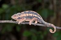 Female Panther Chameleon (Furcifer pardalis), Madagascar, Africa