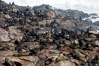 South African fur seal, Cape fur seal Arctocephalus pusillus, colony at the rocky coast, Namibia, Cape Cross