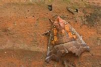 herald, noctuid moth Scoliopteryx libatrix, Scoliopterix libatrix, on sandstone, Germany, Rhineland_Palatinate