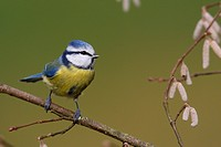 blue tit Parus caeruleus, sits on hazel twig, Germany, Rhineland_Palatinate