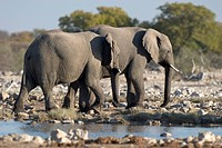 African Bush Elephants or Savanna Elephants (Loxodonta africana) at a waterhole, Etosha National Park, Namibia, Africa