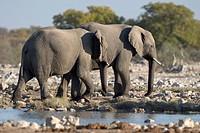 African Bush Elephants or Savanna Elephants (Loxodonta africana) at a waterhole, Etosha National Park, Namibia, Africa