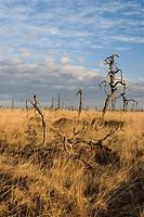 Dead trees, High Fens (Hautes Fagnes) Nature Park, Noir Flohay, Belgium, Europe