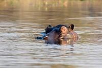 Hippopotamus (Hippopotamus amphibius), Moremi Game Reserve, Botswana, Africa