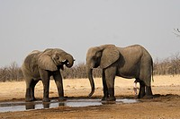 Two African Bush Elephants Loxodonta africana at a waterhole, Chobe National Park, Botswana, Africa