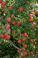 apple tree Malus domestica, mature red apples, Germany, Bavaria