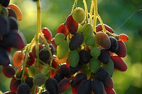 grape Vitis spec., grapes, sort Georg, Germany, Rhineland_Palatinate