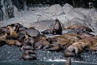 Steller Sea Lions eumetopias jubatus on the beach in the Prince William sound Alaska USA