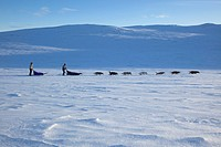 domestic dog Canis lupus f. familiaris, dog sled with 14 dogs in snow landscape, Norway, Dovrefjell Sunndalsfjella National Park