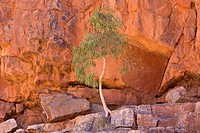 Longbeak eucalyptus, river redgum, river red gum Eucalyptus camaldulensis, Gum Tree growing in rock wall, Australia, Northern Territory, West MacDonne...