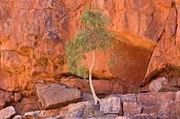 Longbeak eucalyptus, river redgum, river red gum Eucalyptus camaldulensis, Gum Tree growing in rock wall, Australia, Northern Territory, West MacDonne...