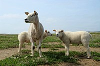 domestic sheep Ovis ammon f. aries, three individuals standing in a salt meadow, Netherlands, Texel
