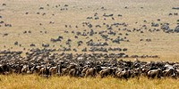 blue wildebeest, brindled gnu, white_bearded wildebeest Connochaetes taurinus, during the Great Migration through the savanna, Kenya, Masai Mara Natio...