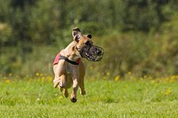 Greyhound, Greyhound Coursing, Hoope, Lower Saxony, Germany, Europe
