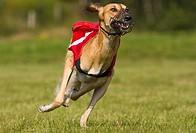Saluki, Greyhound Coursing, Hoope, Lower Saxony, Germany, Europe