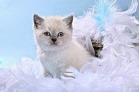 British Shorthair Felis silvestris f. catus, kitten sitting in plumes